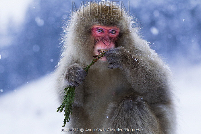 Japanese Macaque (Macaca fuscata) female feeding on branches from a pine tree, Jigokudani Monkey Park, Japan  -  Anup Shah