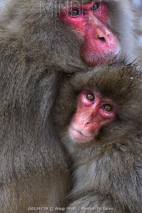 Japanese Macaque (Macaca fuscata) female and baby huddling together for warmth, Jigokudani Monkey Park, Japan  -  Anup Shah
