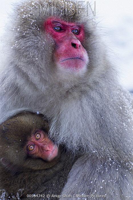 Japanese Macaque (Macaca fuscata) female holding her baby, Jigokudani Monkey Park, Japan  -  Anup Shah