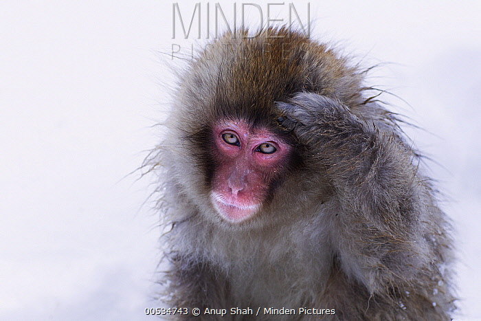 Japanese Macaque (Macaca fuscata) juvenile scratching its head, Jigokudani Monkey Park, Japan. Sequence 1 of 3  -  Anup Shah