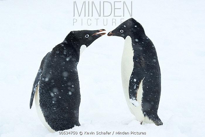 Adelie Penguin (Pygoscelis adeliae) pair in snow, Antarctic Peninsula, Antarctica  -  Kevin Schafer