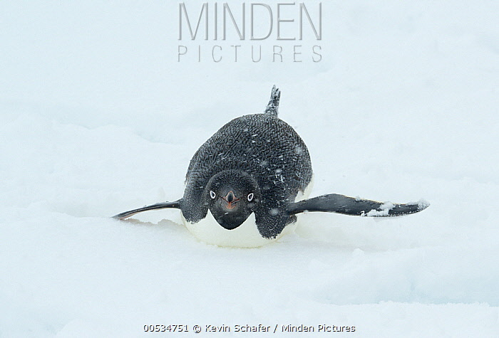 Adelie Penguin (Pygoscelis adeliae) tobogganing in snow, Antarctic Peninsula, Antarctica  -  Kevin Schafer