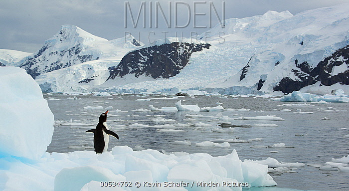 Gentoo Penguin (Pygoscelis papua) on ice floe, Neko Harbor, Antarctic Peninsula, Antarctica  -  Kevin Schafer