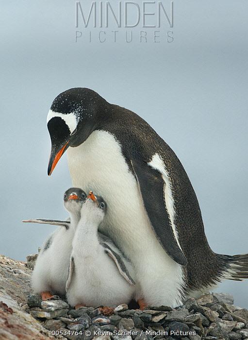Gentoo Penguin (Pygoscelis papua) parent with chicks, Pleneau Island, Antarctic Peninsula, Antarctica  -  Kevin Schafer