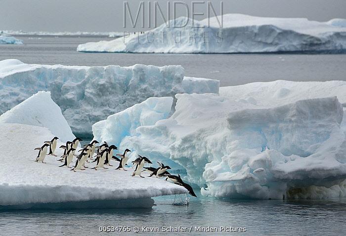 Adelie Penguin (Pygoscelis adeliae) group jumping off iceberg, Brown Bluff, Antarctic Peninsula, Antarctica  -  Kevin Schafer
