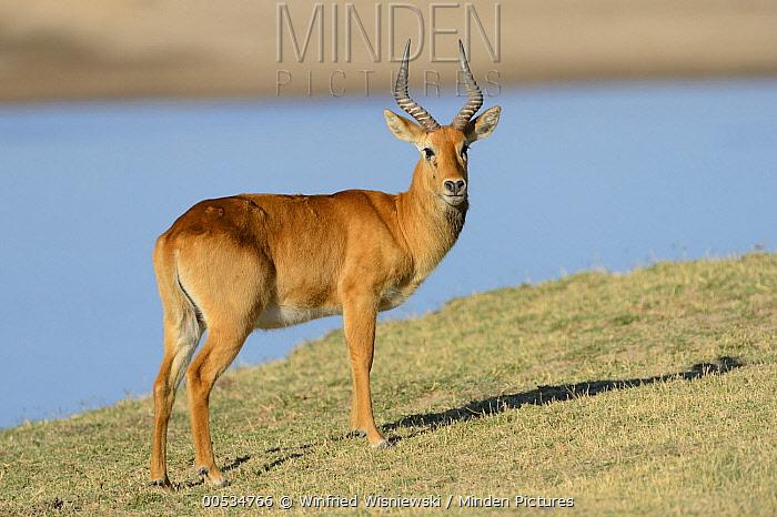Puku (Kobus vardonii) male on banks of Luangwa River, South Lungwa National Park, Zambia  -  Winfried Wisniewski
