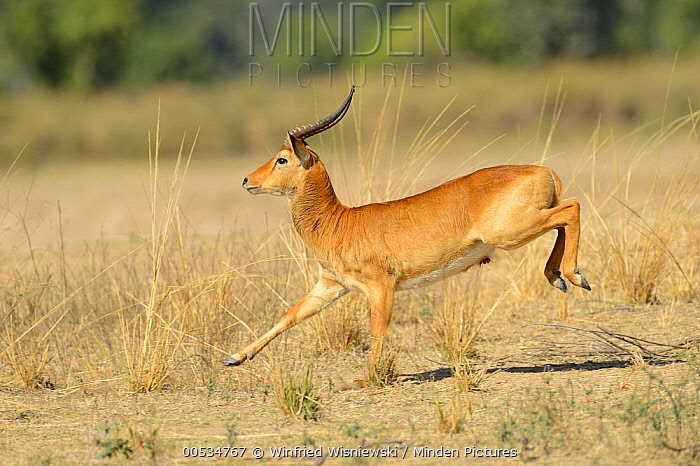Puku (Kobus vardonii) male running, South Lungwa National Park, Zambia  -  Winfried Wisniewski