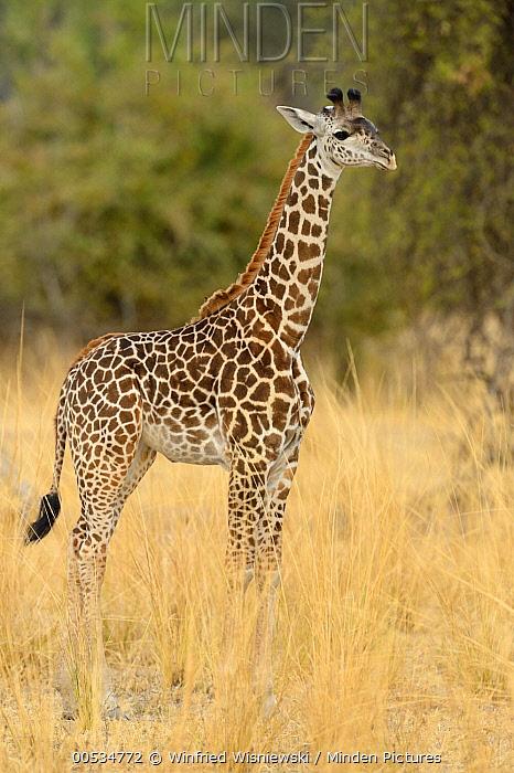 Thornicroft Giraffe (Giraffa tippelskirchi thornicrofti), South Luangwa National Park, Zambia  -  Winfried Wisniewski