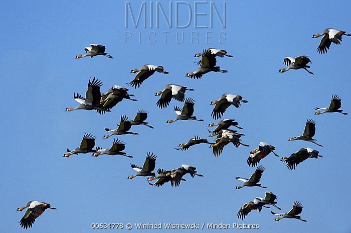 Black-crowned Crane (Balearica pavonina) flock, South Luangwa National Park, Zambia  -  Winfried Wisniewski