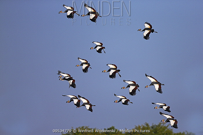Black-crowned Crane (Balearica pavonina) flock flying, South Luangwa National Park, Zambia  -  Winfried Wisniewski