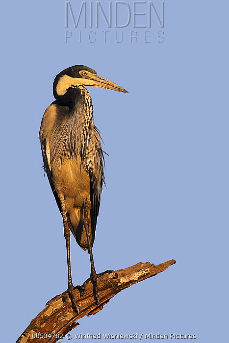 Black-headed Heron (Ardea melanocephala), South Luangwa National Park, Zambia  -  Winfried Wisniewski