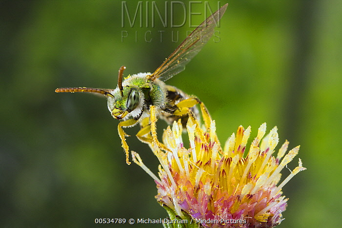 Metallic Green Bee (Agapostemon virescens) on flower stamens covered with pollen, Oregon  -  Michael Durham