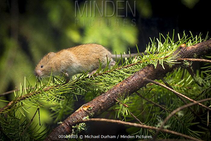 Red Tree Vole (Arborimus longicaudus) male among Douglas-fir (Pseudotsuga menziesii) needles  -  Michael Durham