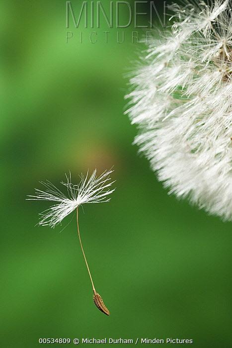 Dandelion (Taraxacum officinale) seed being dispersed by wind, Oregon  -  Michael Durham