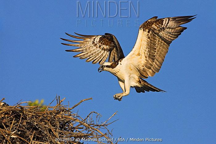 Osprey (Pandion haliaetus) landing at nest, Europe  -  Mathias Schaef/ BIA