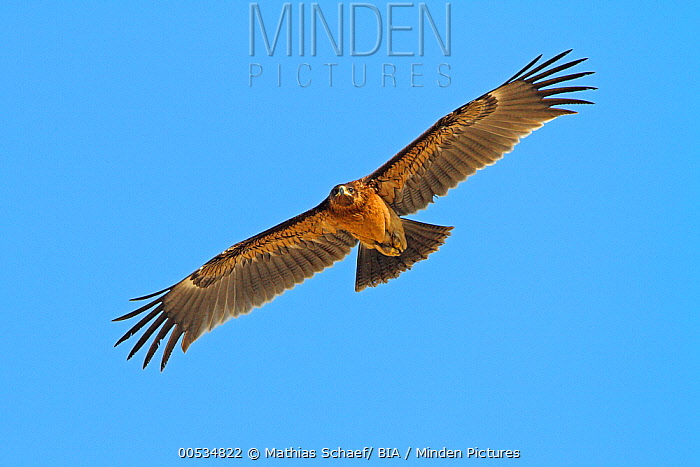 Greater Spotted Eagle (Aquila clanga) flying, Oman  -  Mathias Schaef/ BIA