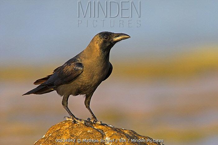 House Crow (Corvus splendens), Oman  -  Mathias Schaef/ BIA