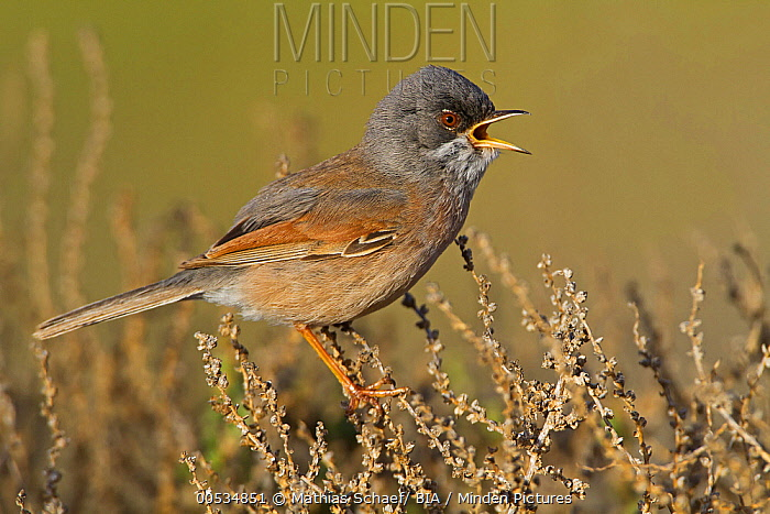 Spectacled Warbler (Sylvia conspicillata) male calling, Spain  -  Mathias Schaef/ BIA