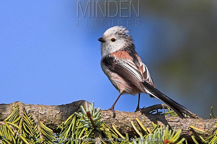 Long-tailed Tit (Aegithalos caudatus), Germany  -  Mathias Schaef/ BIA