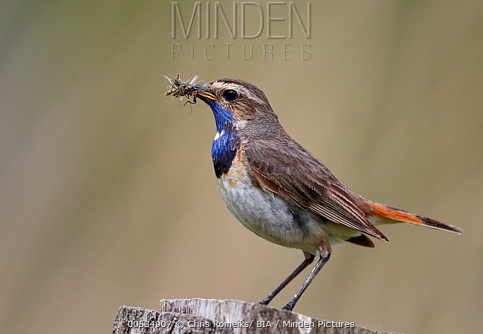 White-spotted Bluethroat (Luscinia svecica cyanecula) male with insect prey, Germany  -  Chris Romeiks/ BIA