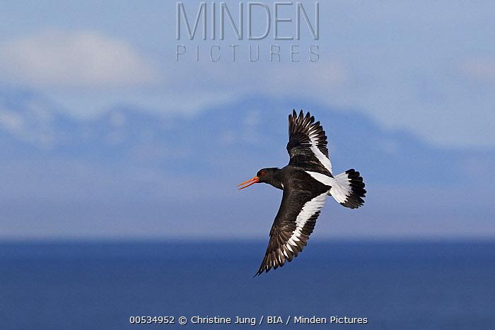 Eurasian Oystercatcher (Haematopus ostralegus) flying, Iceland  -  Christine Jung/ BIA