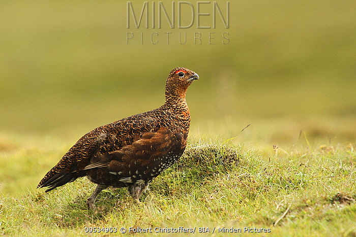 Red Grouse (Lagopus scoticus), Yorkshire, England  -  Folkert Christoffers/ BIA