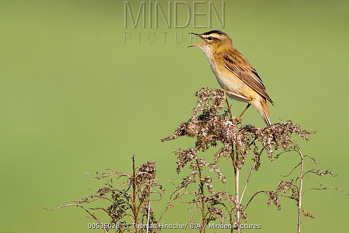 Sedge Warbler (Acrocephalus schoenobaenus) calling, Germany  -  Thomas Hinsche/ BIA