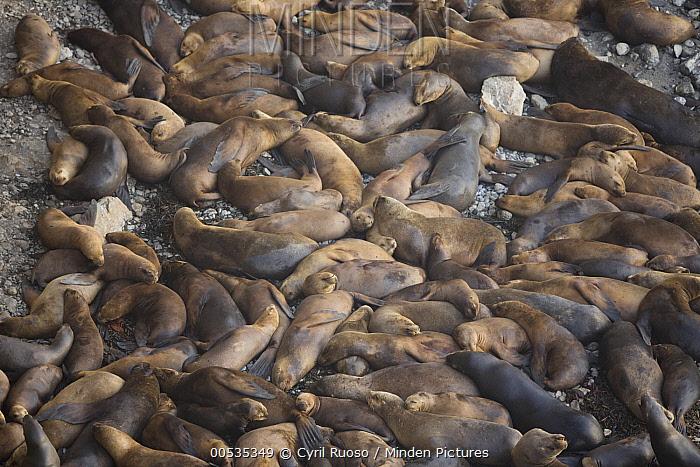 South American Sea Lion (Otaria flavescens) large group sleeping at haul out, San Fernando Reserve, Nazca Desert, Peru  -  Cyril Ruoso