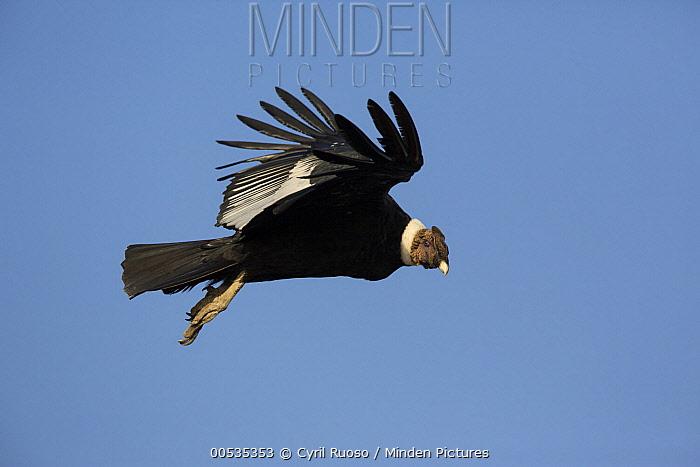 Andean Condor (Vultur gryphus), San Fernando Reserve, Nazca Desert, Peru  -  Cyril Ruoso