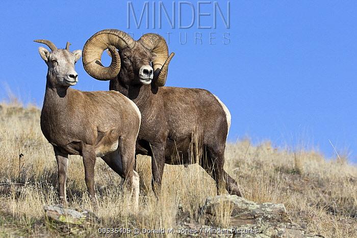 Bighorn Sheep (Ovis canadensis) ram and ewe during rut, Montana  -  Donald M. Jones