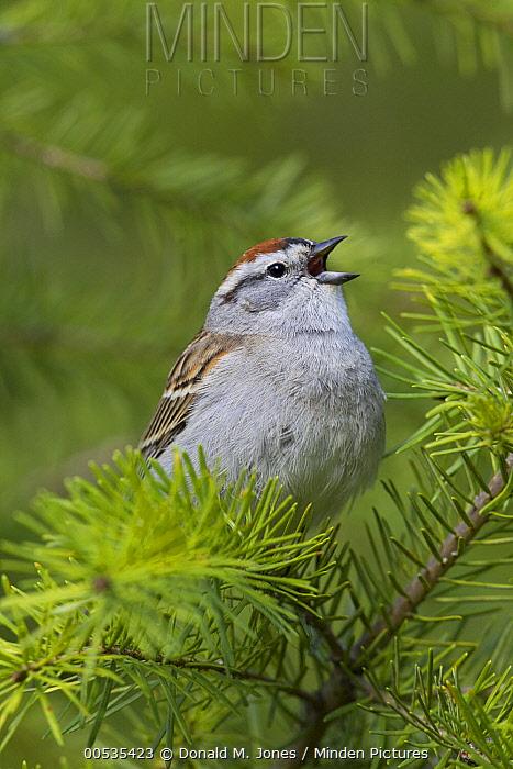 Chipping Sparrow (Spizella passerina) singing atop a Douglas-fir (Pseudotsuga menziesii) tree, Montana  -  Donald M. Jones