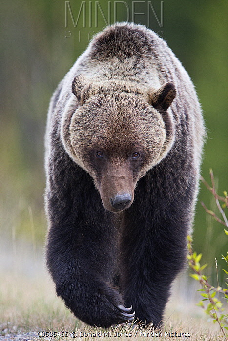 Brown Bear (Ursus arctos) walking, Canada  -  Donald M. Jones