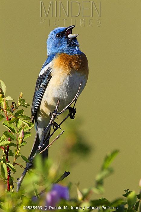 Lazuli Bunting (Passerina amoena) male singing, Montana  -  Donald M. Jones