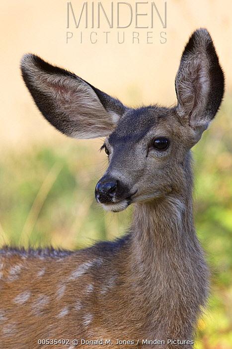 Mule Deer (Odocoileus hemionus) fawn, Montana  -  Donald M. Jones