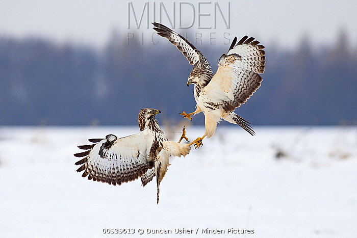 Common Buzzard (Buteo buteo) pair fighting over food in winter, Germany  -  Duncan Usher