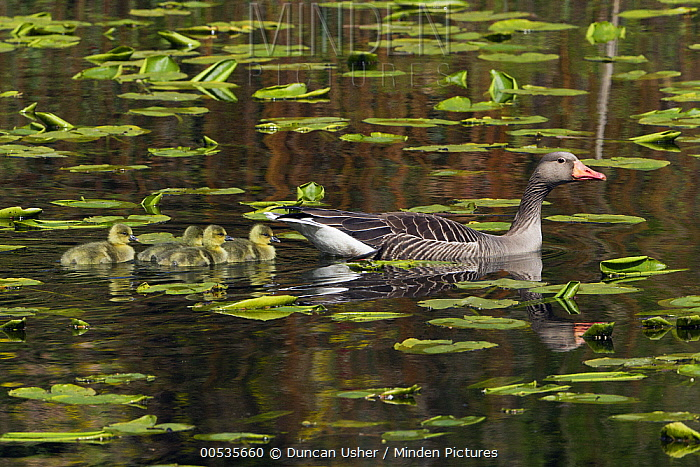 Greylag Goose (Anser anser) female with goslings swimming in pond, Germany  -  Duncan Usher