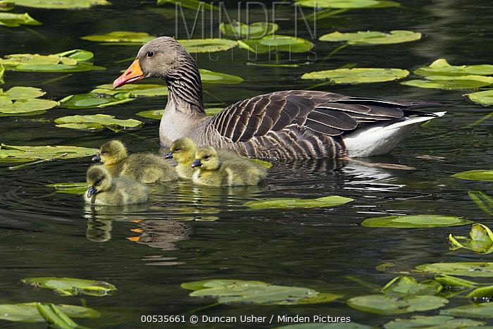 Greylag Goose (Anser anser) female with goslings in pond, Germany  -  Duncan Usher