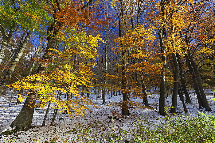 European Beech (Fagus sylvatica) forest in autumn with freshly fallen snow, Hessen, Germany  -  Duncan Usher