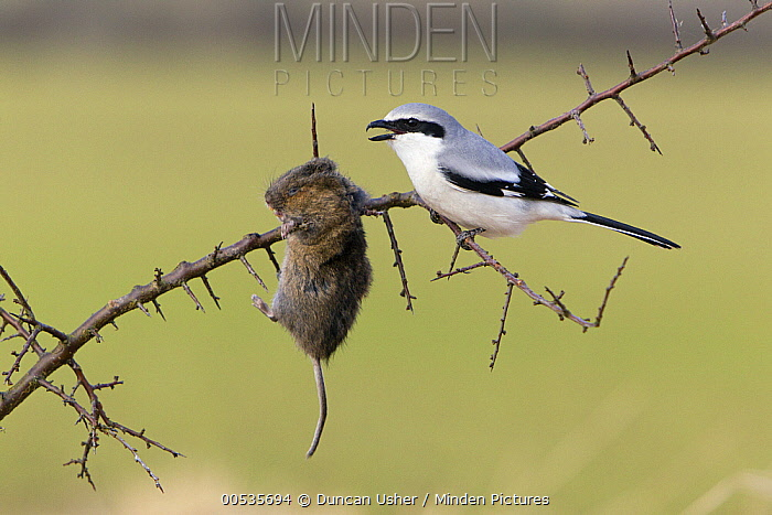Great Grey Shrike (Lanius excubitor) with vole prey impaled on thorn, Germany  -  Duncan Usher