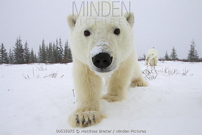 Polar Bear (Ursus maritimus) pair investigating camera, Churchill, Manitoba, Canada  -  Matthias Breiter