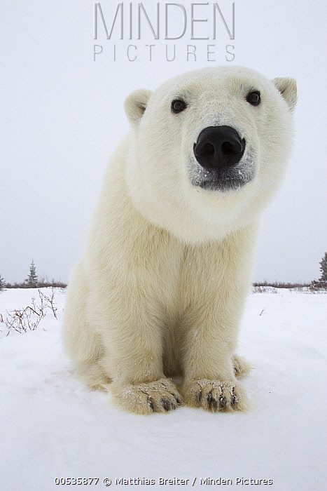 Polar Bear (Ursus maritimus), Churchill, Manitoba, Canada  -  Matthias Breiter