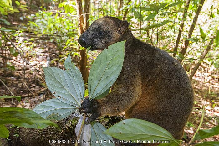 Lumholtz's Tree-Kangaroo, (Dendrolagus lumholtzi) male foraging, Atherton Tableland, Queensland, Australia  -  D. Parer & E. Parer-Cook