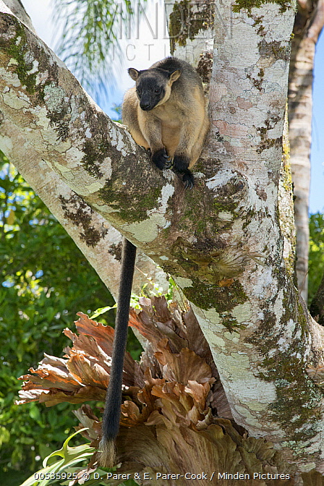 Lumholtz's Tree-Kangaroo, (Dendrolagus lumholtzi) resting in Queensland Silver Ash (Flindersia bourjotiana), Atherton Tableland, Queensland, Australia  -  D. Parer & E. Parer-Cook