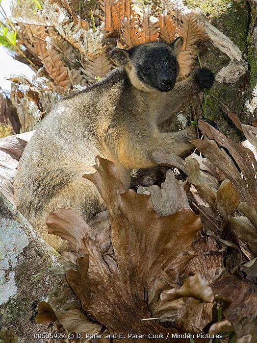 Lumholtz's Tree-Kangaroo, (Dendrolagus lumholtzi) male feeding, Atherton Tableland, Queensland, Australia  -  D. Parer & E. Parer-Cook
