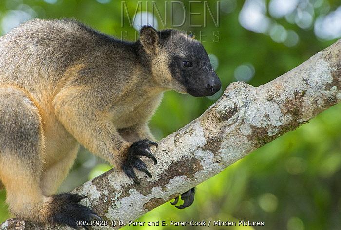 Lumholtz's Tree-Kangaroo, (Dendrolagus lumholtzi), male foraging for lichen or bark in Queensland Silver Ash (Flindersia bourjatiana), Atherton Tableland, Queensland, Australia,  -  D. Parer & E. Parer-Cook