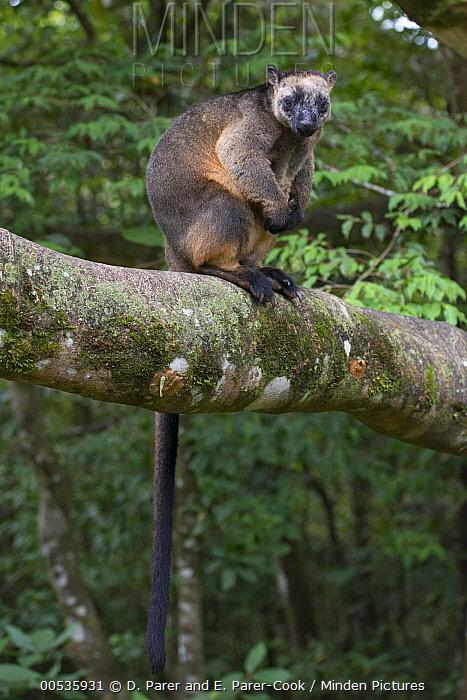 Lumholtz's Tree-Kangaroo, (Dendrolagus lumholtzi) male, Atherton Tableland, Queensland, Australia  -  D. Parer & E. Parer-Cook