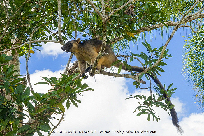 Lumholtz's Tree-Kangaroo, (Dendrolagus lumholtzi) male using tail as counterbalance, in Queensland Silver Ash (Flindersia bourjatiana), Atherton Tableland, Queensland, Australia  -  D. Parer & E. Parer-Cook
