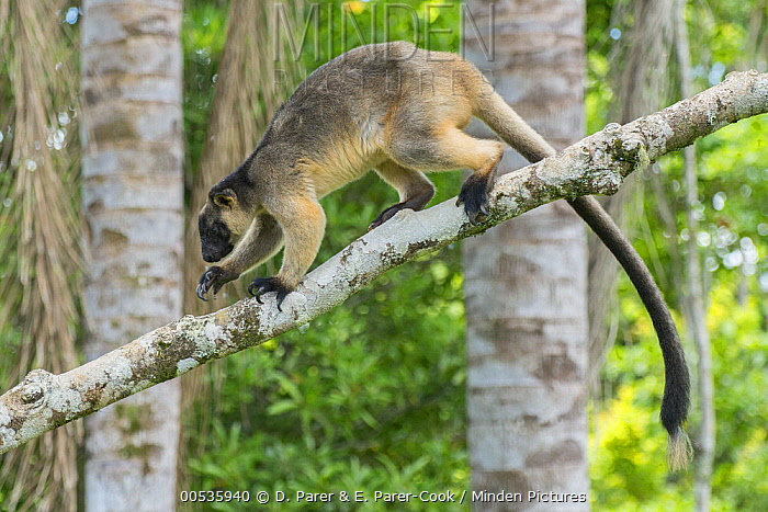 Lumholtz's Tree-Kangaroo, (Dendrolagus lumholtzi) walking along branch in Queensland Silver Ash (Flindersia bourjatiana), Atherton Tableland, Queensland, Australia  -  D. Parer & E. Parer-Cook