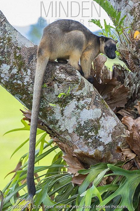 Lumholtz's Tree-Kangaroo, (Dendrolagus lumholtzi) male near base of Queensland Silver Ash (Flindersia bourjotiana), Atherton Tableland, Queensland, Australia  -  D. Parer & E. Parer-Cook