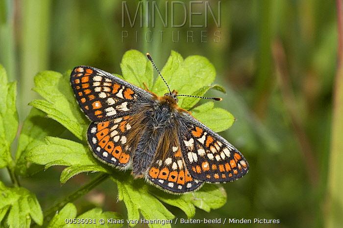 Marsh Fritillary (Euphydryas aurinia) butterfly, Europe  -  Klaas van Haeringen/ Buiten-beel